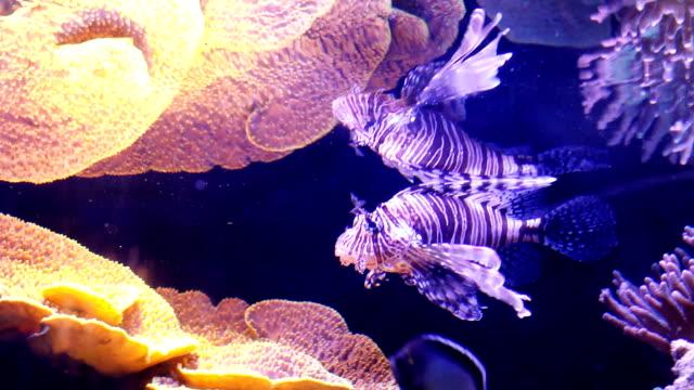 unterwasser lion fisch. - drachenkopf stock-videos und b-roll-filmmaterial