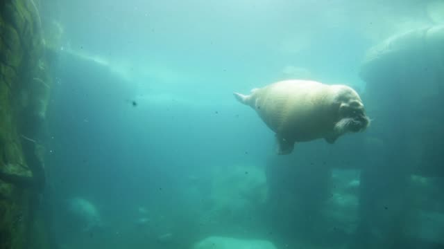 vidéos et rushes de underwater long shot of a walrus. walruses swim through their basin at hagenbeck zoo on may 16, 2013 in hamburg, germany. animals in the zoo at... - organisme aquatique