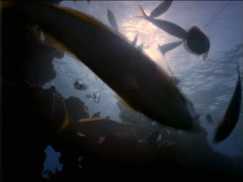 vidéos et rushes de underwater low angle close up crowd of tropical fish swimming above camera / sun in background - angle de prise de vue