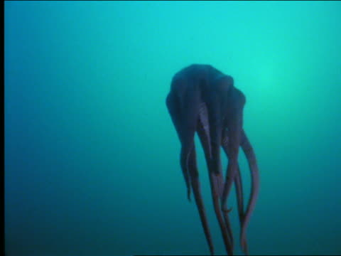 underwater low angle of octopus