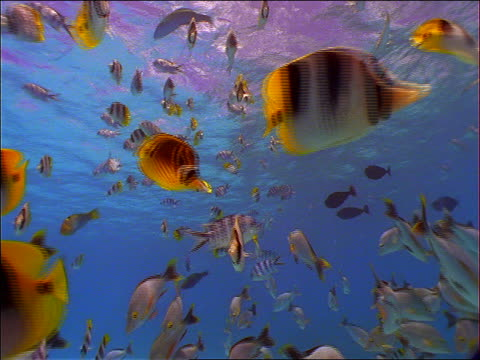 vídeos de stock, filmes e b-roll de underwater low angle of school of striped fish near ocean surface / french polynesia - peixe tropical