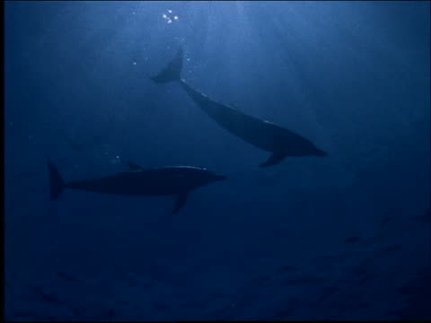 underwater low angle silhouette of dolphins swimming near surface - cetacea stock videos & royalty-free footage