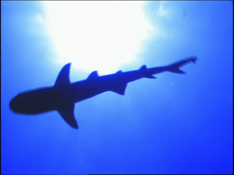 underwater low angle silhouette of reef shark? swimming above + past camera / Great Barrier Reef, Australia