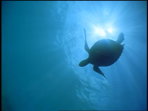 vídeos de stock e filmes b-roll de underwater low angle silhouette sea turtle swimming over camera in ocean / sunlight in background / hawaii - organismo aquático