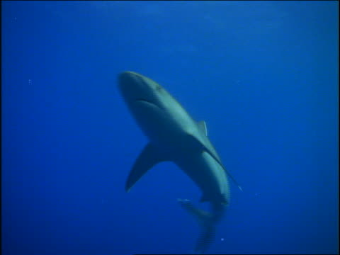 underwater low angle pan whitetipped reef shark swimming toward camera then turning away in ocean - 2001 stock videos and b-roll footage