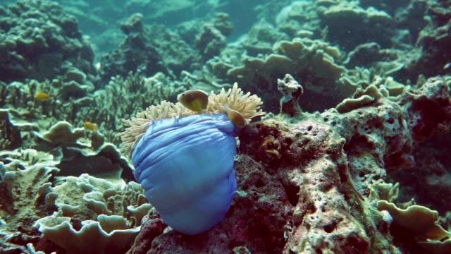 unterwasser prächtigen anemone (heteractis magnifica) mit skunk anemonenfische (amphiprion ephippium) clownfische - animal behaviour stock-videos und b-roll-filmmaterial