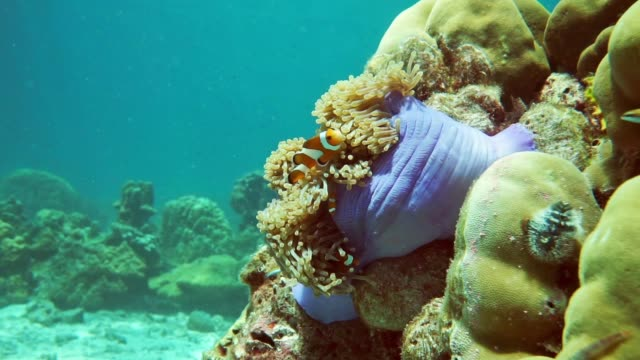 unterwasser prächtigen anemone (heteractis magnifica) mit westlichen falscher clownfisch (amphiprion ocellaris) am korallenriff - animal behaviour stock-videos und b-roll-filmmaterial