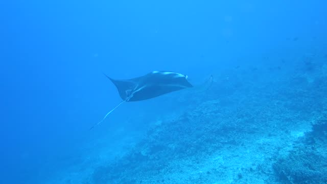 underwater: majestic manta ray swimming in bright blue water over seabed - hawaii islands stock videos & royalty-free footage