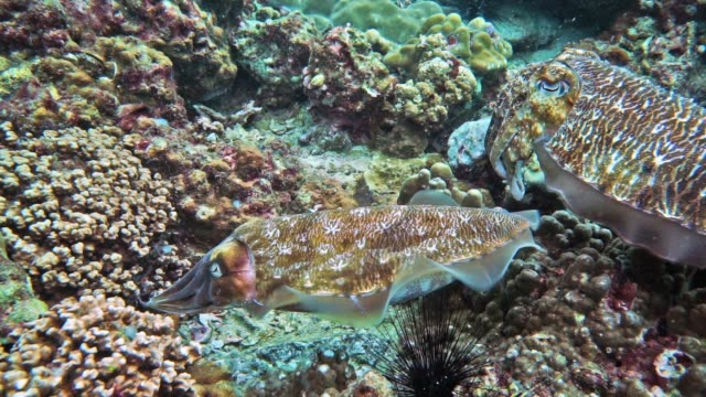 Underwater male and female Cuttlefish (Sepia pharaonis) Cephalopod laying eggs