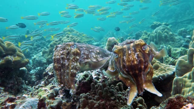 underwater male and female cuttlefish (sepia pharaonis) cephalopod laying eggs - tentacle stock videos & royalty-free footage