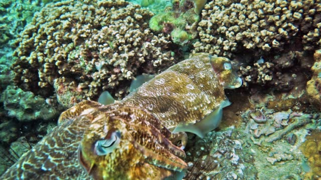 underwater male and female cuttlefish (sepia pharaonis) cephalopod laying eggs - camouflage stock videos & royalty-free footage