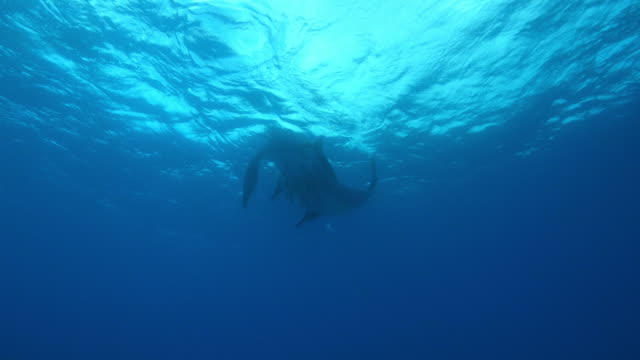 underwater la manta ray flapping alternate wings with massed remoras under it - gruppo medio di animali video stock e b–roll