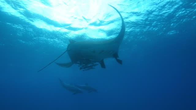 underwater la manta ray with bottlenosed dolphins swimming around and remoras under its wings - sugfisk bildbanksvideor och videomaterial från bakom kulisserna