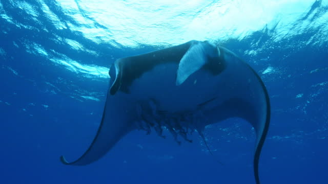 Underwater LA Manta Ray with massed Remoras under it swims over camera