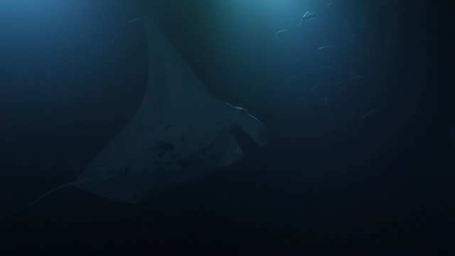 underwater: manta rays swimming among other fish between lights in dark ocean - other点の映像素材/bロール