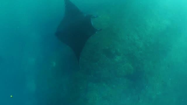 underwater manta rays - manta ray stock videos & royalty-free footage