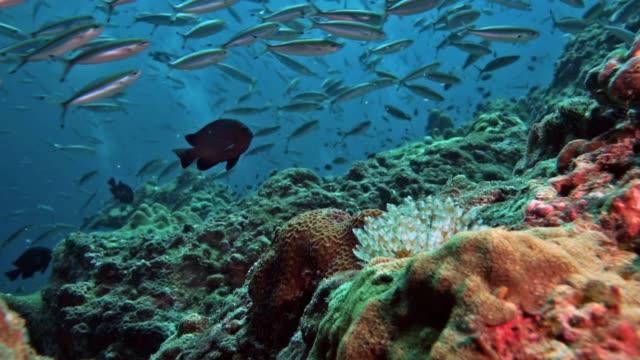 stockvideo's en b-roll-footage met onderwater marine bristle worm, een prachtige plumeau worm (sabellastarte magnifica) - kokerworm