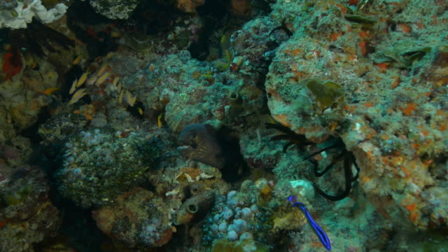 Underwater Moray Eel in crevice in coral reef with fish swimming around
