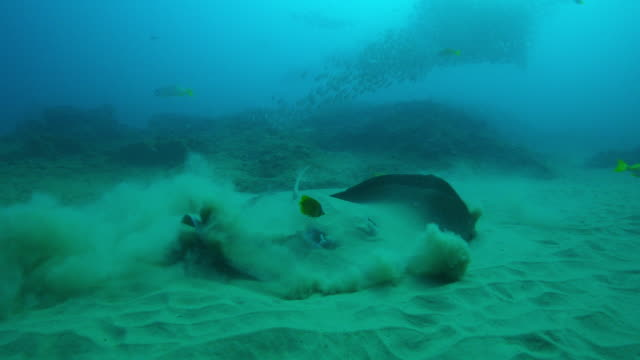 underwater ms mottled stingray on seabed with yellow angelfish cleaning it as it lifts from the sand and swims away - angelfish stock videos & royalty-free footage