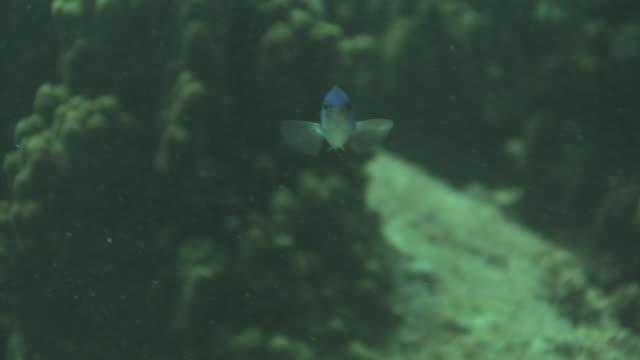 underwater, neon damselfish, kozushima, japan - damselfish stock videos & royalty-free footage