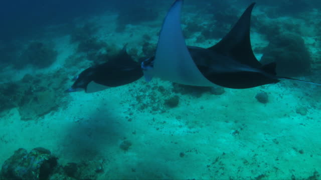 Underwater of Manta ray (Manta birostris) swimming along over coral reef/ Maldives