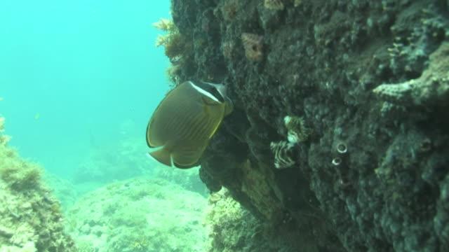 underwater, oriental butterflyfish, kozushima, japan - butterflyfish stock videos & royalty-free footage