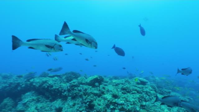 underwater, oriental sweetlips, ogasawara, japan - sweetlips stock videos & royalty-free footage