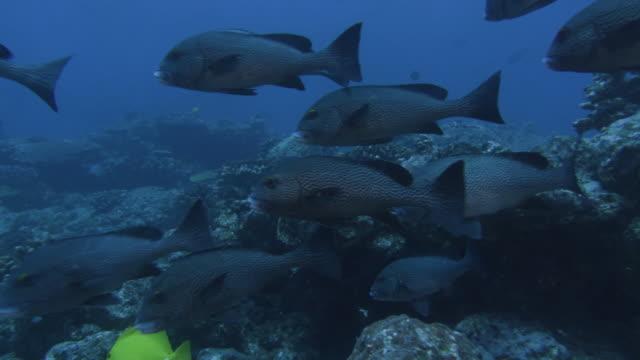 underwater, cu, oriental sweetlips, ogasawara, japan - sweetlips stock videos & royalty-free footage