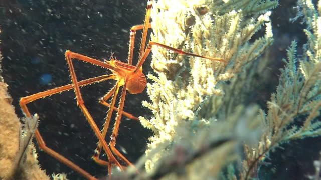 underwater, ortman spider crab, izu oshima, japan - undersea stock videos & royalty-free footage