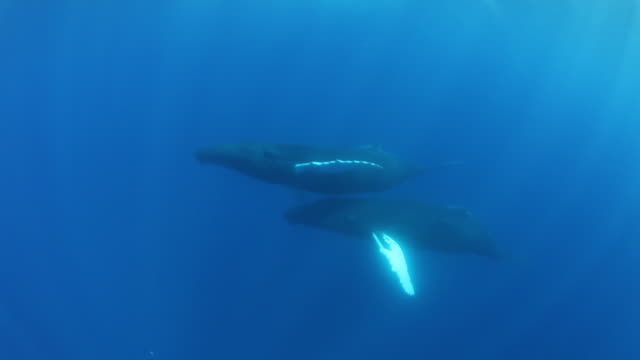 underwater pov, pair of humpback whales in sargasso sea - pair stock videos and b-roll footage