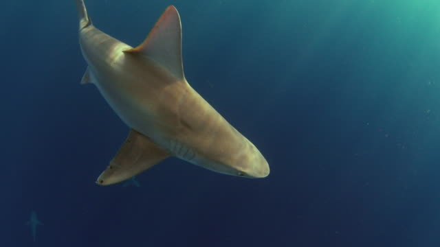 underwater panning shot of a galapagos shark passing by camera - shark stock videos & royalty-free footage