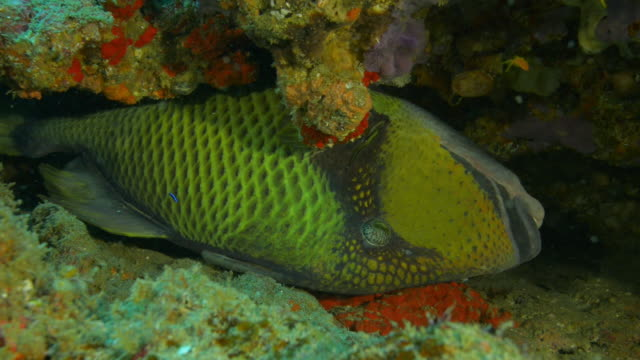 underwater ms parrot fish lying on its side in crevice in coral reef with blue cleaner fish  - crevice stock videos & royalty-free footage