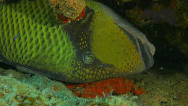 underwater cu parrot fish lying on its side in crevice in coral reef with blue cleaner fish  - crevice stock videos & royalty-free footage