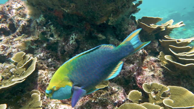 vidéos et rushes de perroquet sous-marin (scarus prasiognathos) mangeant le corail sur le récif - hermaphrodite