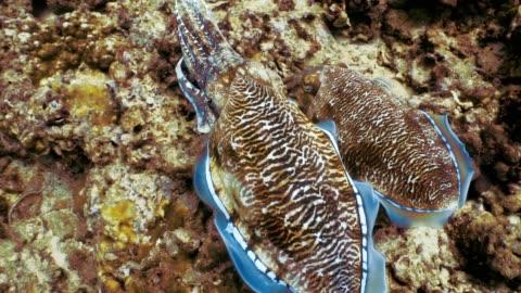 vídeos y material grabado en eventos de stock de submarino pharoah jibias (sepia officinalis) cefalópodos poniendo huevos - esconder