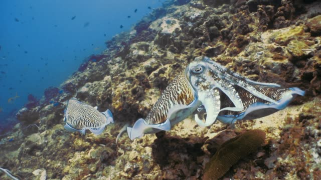 水中ファラオ イカ (コウイカ) 頭足類交尾