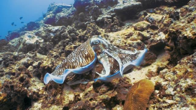 vídeos y material grabado en eventos de stock de submarino pharoah jibias (sepia officinalis) cefalópodos apareamiento - mar de andamán