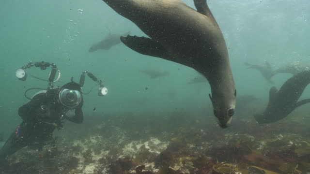 Underwater photographer photographing brown fur seals