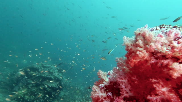 underwater pink coral reef teaming with tropical fish background - anthias fish stock videos & royalty-free footage