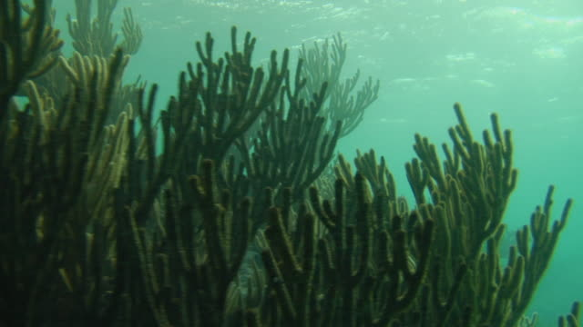 cu underwater plants moving with current in caribbean sea / tulum, mexico - aquatic plant stock videos & royalty-free footage