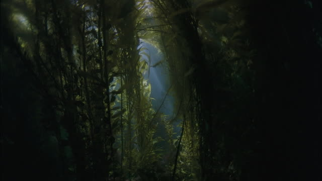 SLO MO CU Underwater plants with sun rays breaking through / Moorea, Tahiti, French Polynesia