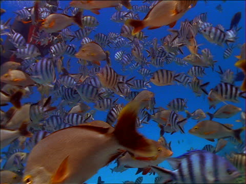 vídeos de stock, filmes e b-roll de underwater point of view thru school of grey and striped fish / french polynesia - peixe tropical