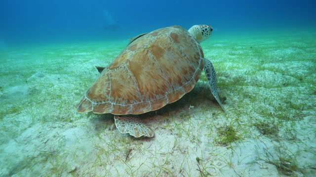 underwater, pov, a sea turtle and two fish on the ocean floor, virgin islands, usa - sea grass plant stock videos & royalty-free footage