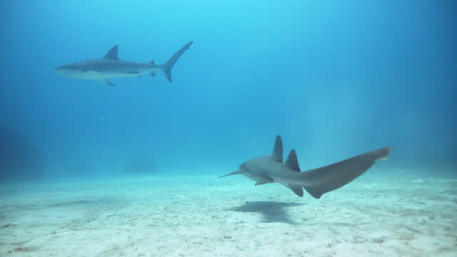 underwater, pov, tracking, two sharks on the ocean floor, the bahamas - bahamas stock videos & royalty-free footage