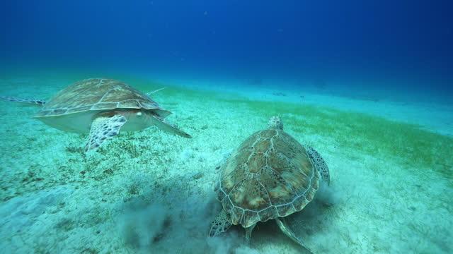 underwater, pov, two sea turtles on the ocean floor, virgin islands, usa - sea grass plant stock videos & royalty-free footage