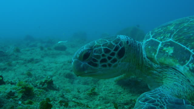 underwater profile cu green turtle eating seaweed - 海草点の映像素材/bロール