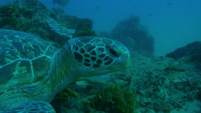 Underwater profile CU Green Turtle lying on reef and eating seaweed then swims away
