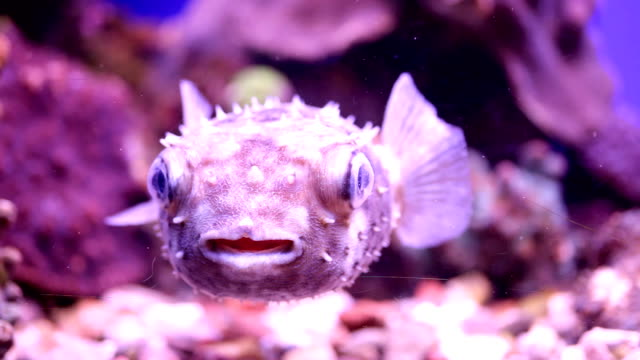 underwater puffer fish. - balloonfish stock videos and b-roll footage