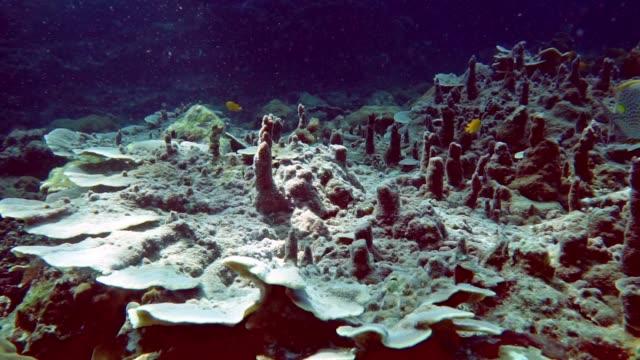 underwater rabbit fish (siganus insomnis) on leafy cup coral (tubinaria reniformis) - andaman sea stock videos & royalty-free footage