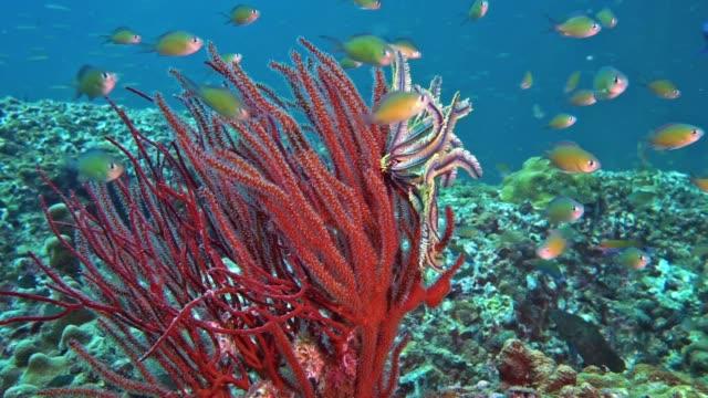 underwater red finger gorgonia (diodogorgia nodulifera) coral - corallo molle corallo video stock e b–roll